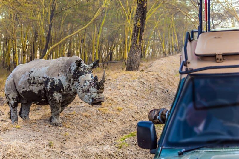 Huge white rhino and touring jeep - safari. Huge gorgeous white rhino and touring jeep safari. Wild animals in natural habitat. Safari - tour to the Kenya, on royalty free stock photos