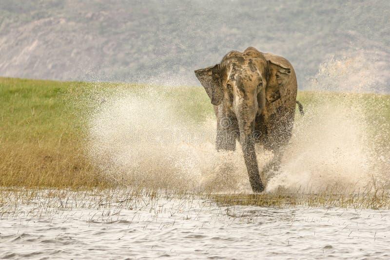 Huge wild elephant charging with splashing water royalty free stock photography