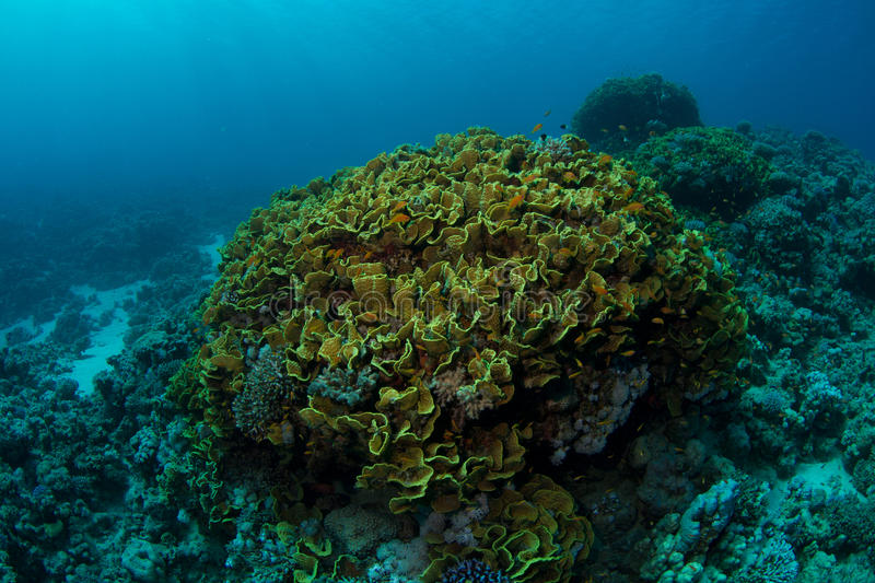 Huge yellow waver coral. A very big yellow waver coral also know as salad coral in the Red Sea stock photo