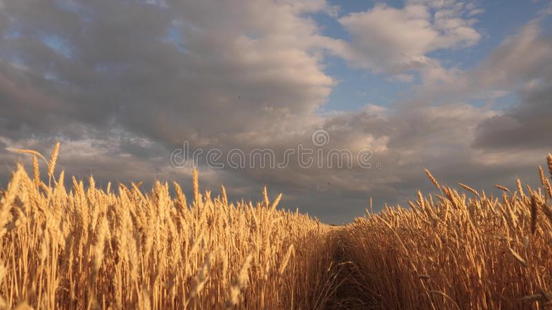 Huge yellow wheat floor in idyllic nature in golden rays of sunset. Beautiful stormy sky with clouds in countryside over stock illustration