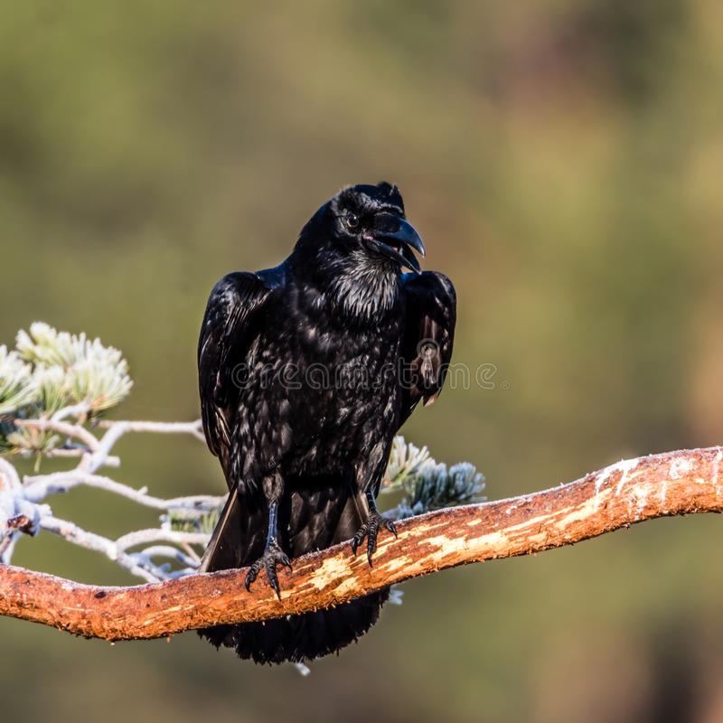 Hugin the raven. A common raven Corvus corax on a branch with a nice green defocused background. In Norse mythology, Huginn from the Old Norse for `thought` and royalty free stock photo