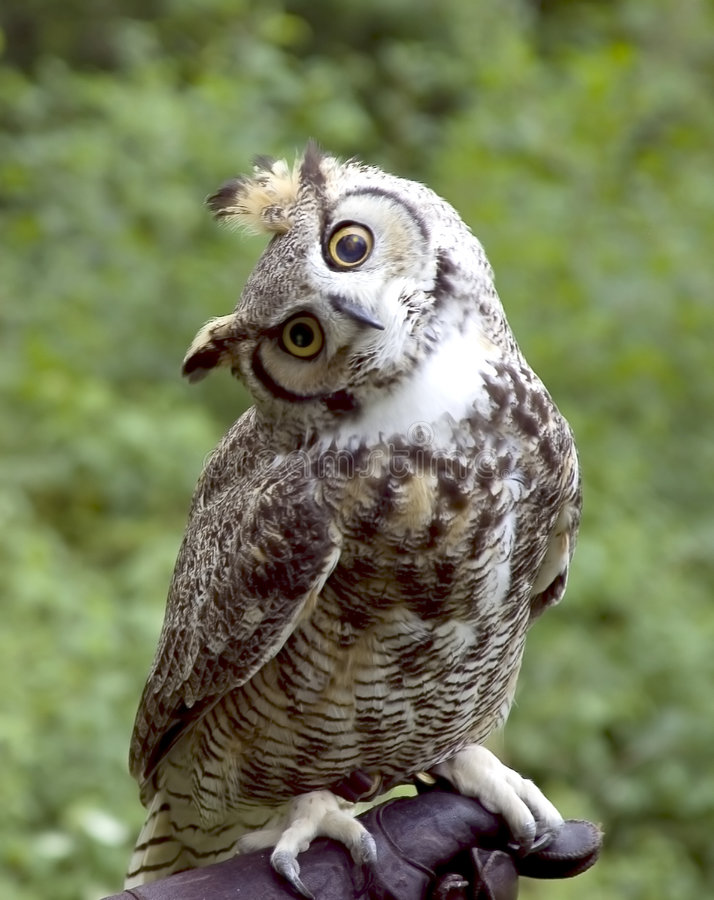 Huh? Owl royalty free stock photo
