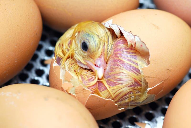 Huhn lizenzfreies stockbild