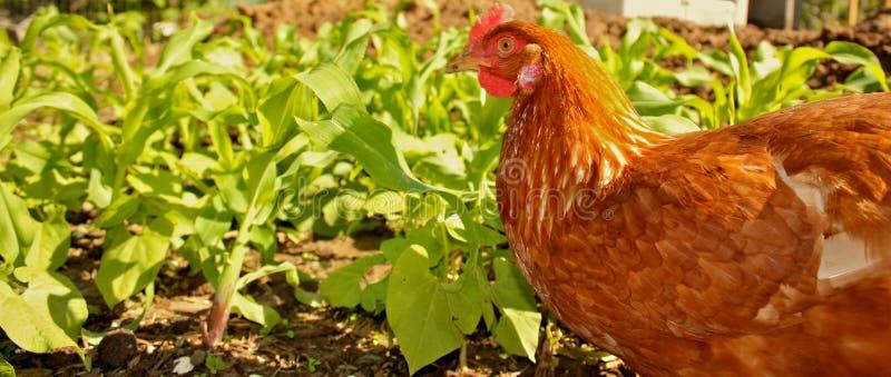 Huhn auf dem Bauernhof lizenzfreies stockbild