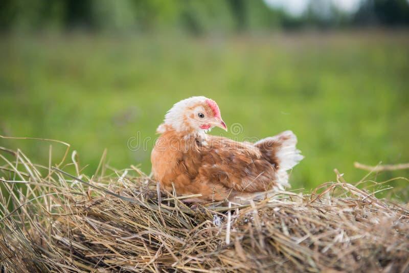 Huhn in der Krippe lizenzfreie stockfotos