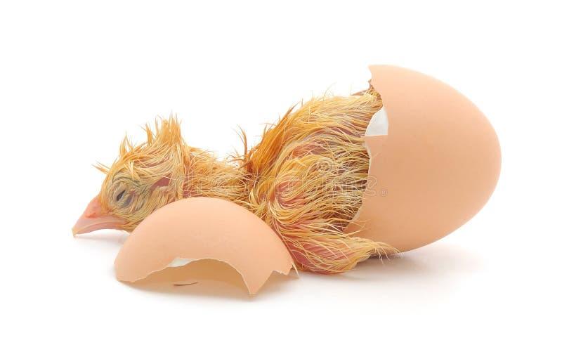 Huhn und eine Eierschale stockfotografie