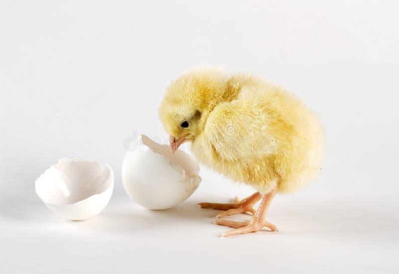 Huhn und eine unterbrochene Eierschale lizenzfreies stockbild