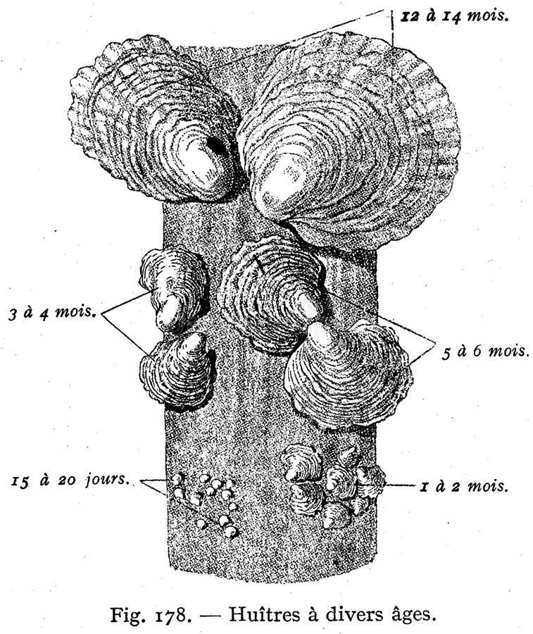 Huître Free Public Domain Cc0 Image