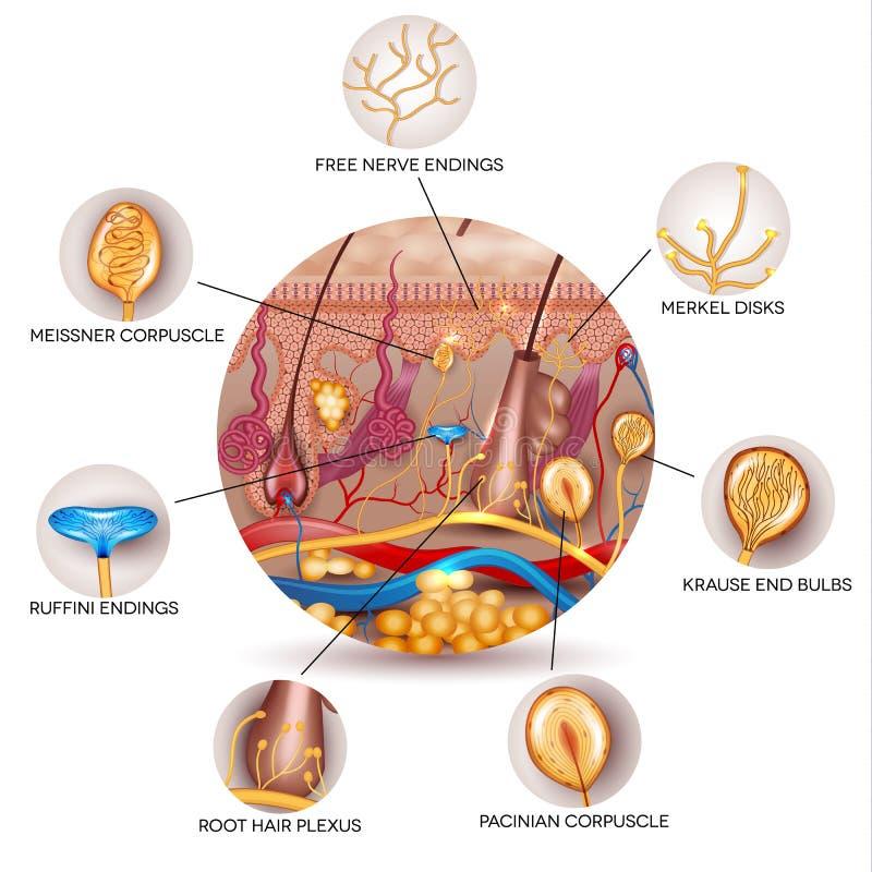 Huidanatomie en Sensorische receptoren in de huid royalty-vrije illustratie