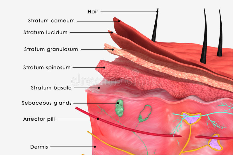 Huidetiket vector illustratie