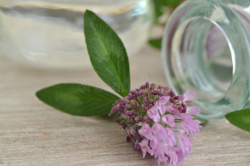 Huile de trèfle rouge, plante médicinale alternative à base de plantes herbacées, plante de trèfle rouge sur une table abîmà photo libre de droits