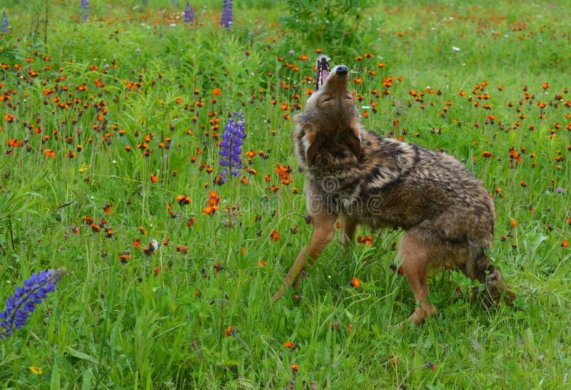 Huilende Coyote op een gebied van wildflowers royalty-vrije stock afbeelding