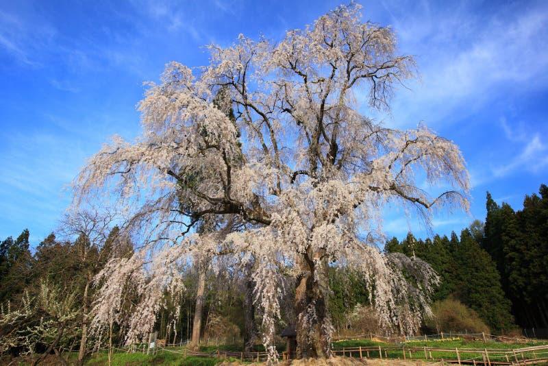 Huilende kersenboom royalty-vrije stock foto's