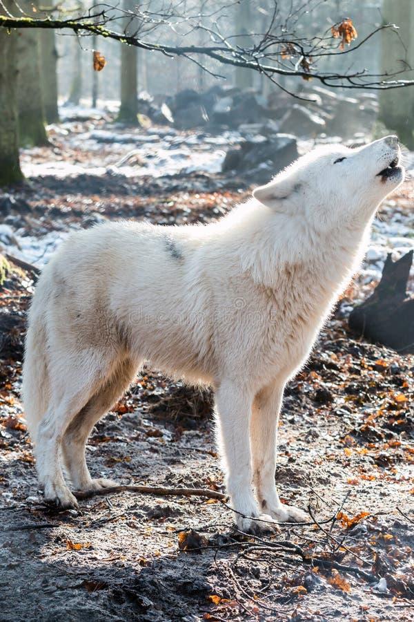Huilende noordpoolwolf royalty-vrije stock fotografie