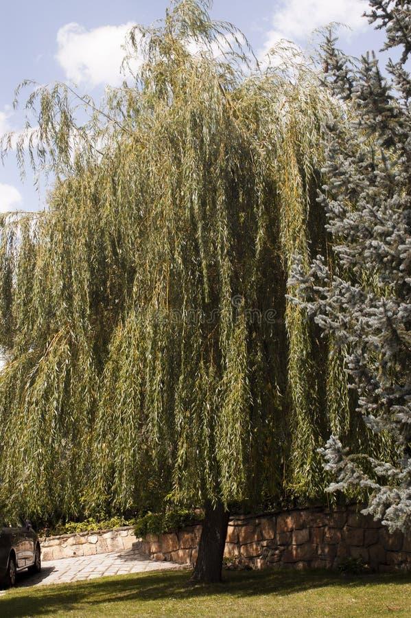 Huilende Willow Tree royalty-vrije stock afbeelding