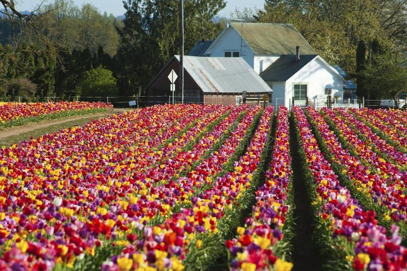 Huis aan het eind van een rij van tulpen royalty-vrije stock afbeelding