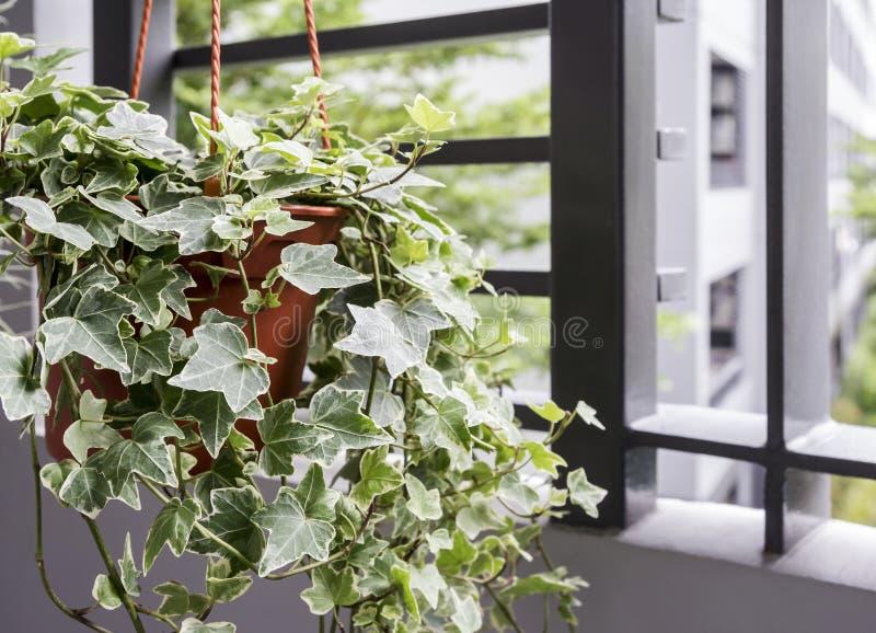 Huis en tuinconcept Engelse klimopinstallatie in pot stock afbeelding