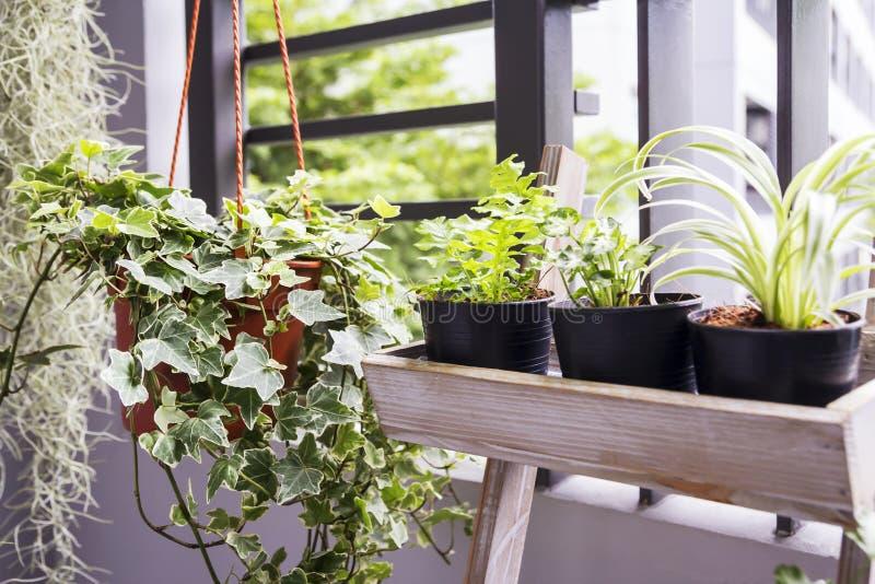 Huis en tuinconcept Engelse klimopinstallatie in pot stock afbeeldingen