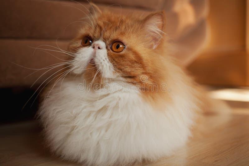 Huis Perzisch katje van Rode en Witte Kleur royalty-vrije stock fotografie