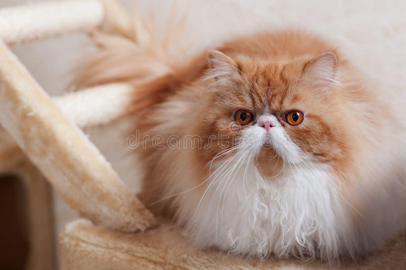 Huis Perzisch katje van Rode en Witte Kleur royalty-vrije stock afbeeldingen