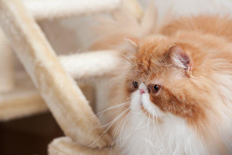 Huis Perzisch katje van Rode en Witte Kleur stock fotografie