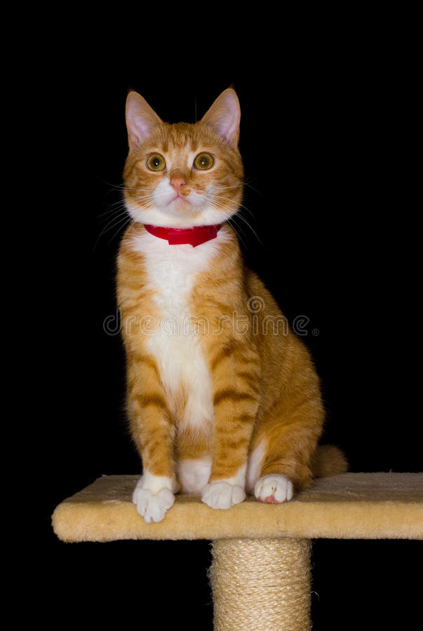 Huis rode kat op zwarte achtergrond royalty-vrije stock afbeelding
