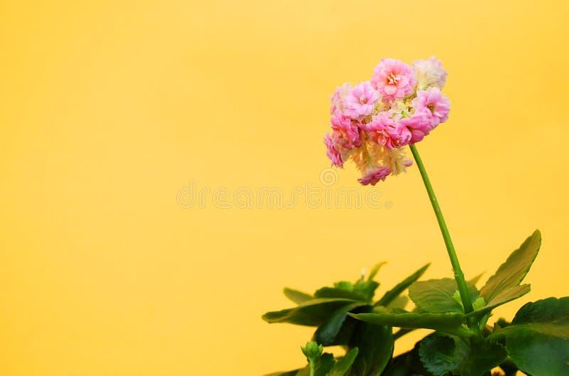Huisbloem over gele achtergrond stock afbeelding
