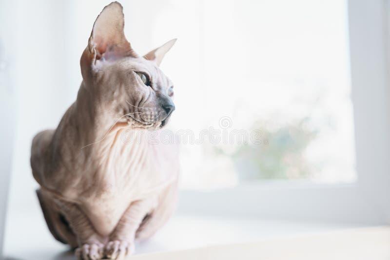 Huisdier leuke Cat Don Sphynx op het vensterbankclose-up royalty-vrije stock foto's