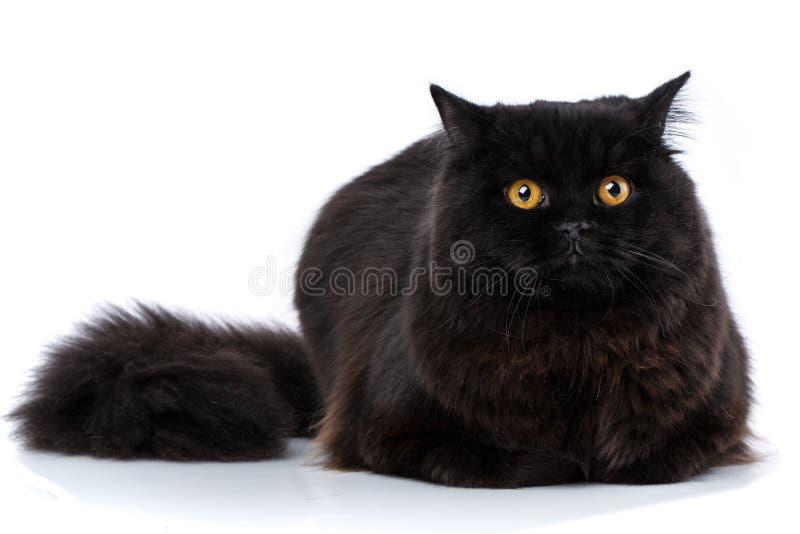 Huisdier Rasechte Britse kat royalty-vrije stock foto