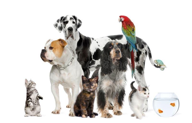 Huisdieren die zich voor witte achtergrond bevinden stock fotografie