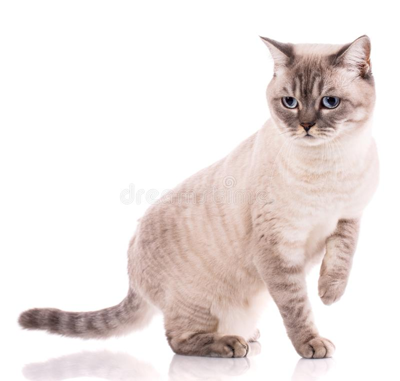 Huisdieren, dieren en kattenconcept - Rasechte Britse kat op een witte achtergrond royalty-vrije stock foto's