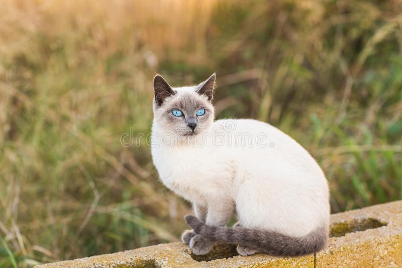 Huisdieren en rasdierenconcept - Portret van de siamese kat met blauwe ogen stock foto's