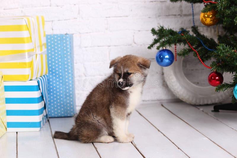 Huisdierenhond, jonge Akita Inu-puppyhond op de achtergrond van het Nieuwjaar stock afbeelding