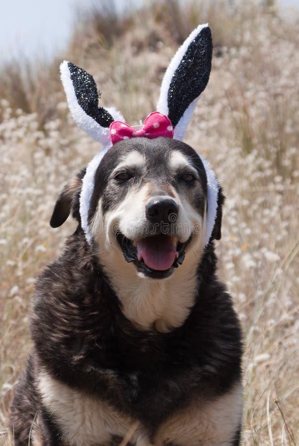 Huisdierenhond omhoog gekleed in Pasen-konijntjesoren stock foto