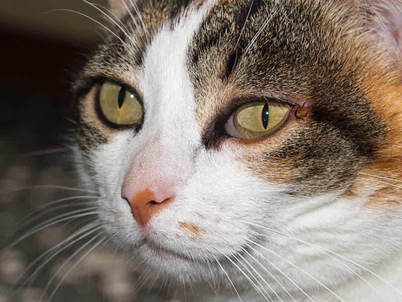 Huisdierenkat met tik dichtbij oog Ixodesscapularis royalty-vrije stock fotografie