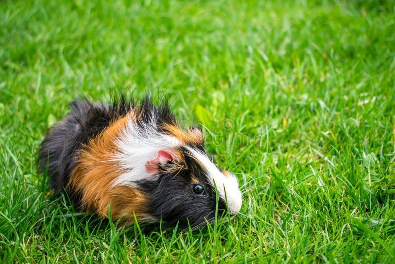 huisdierenproefkonijn op sappig gras royalty-vrije stock foto's