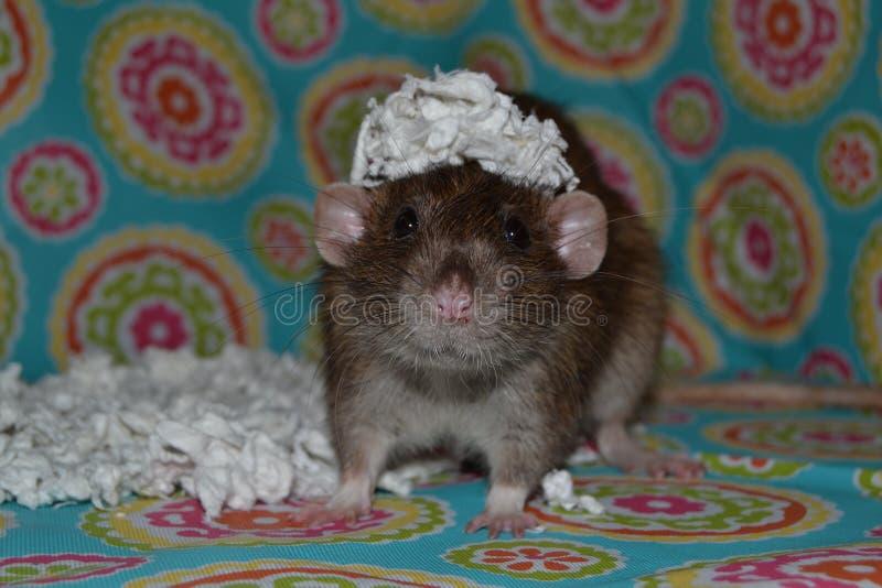 Huisdierenrat met document op hoofd stock foto's