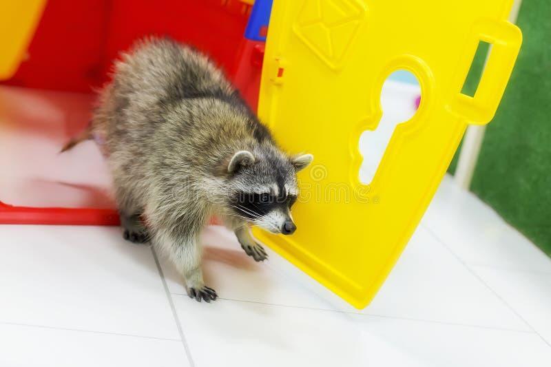 Huisdierenwasbeer in uw huis stock foto's