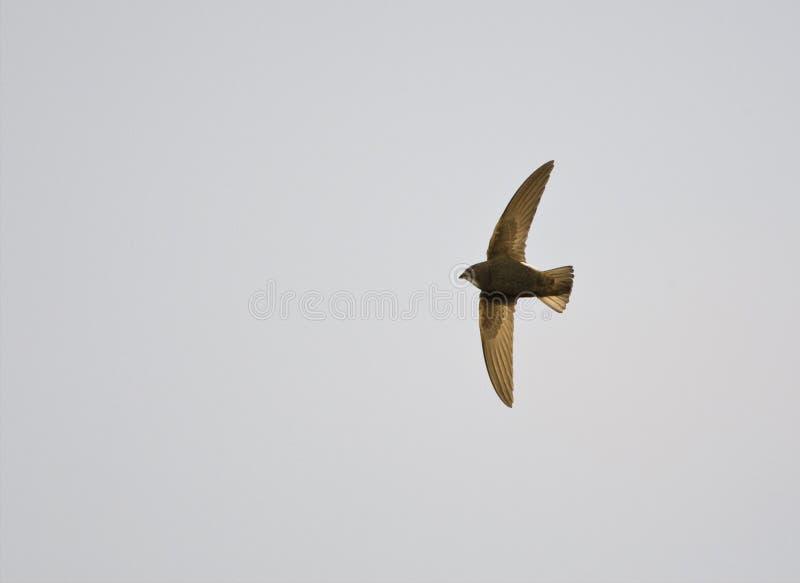 Huisgierzwaluw, pouco rápido, affinis dos APU fotografia de stock