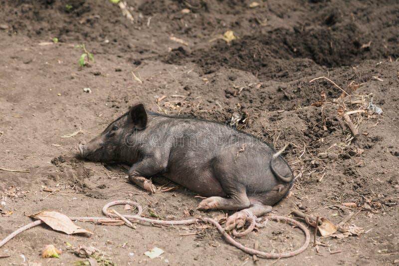Huishouden een Groot Zwart Varken in Landbouwbedrijf Het varken die heft en kweekt van Binnenlandse Varkens op, Tanna-eiland, Van royalty-vrije stock foto