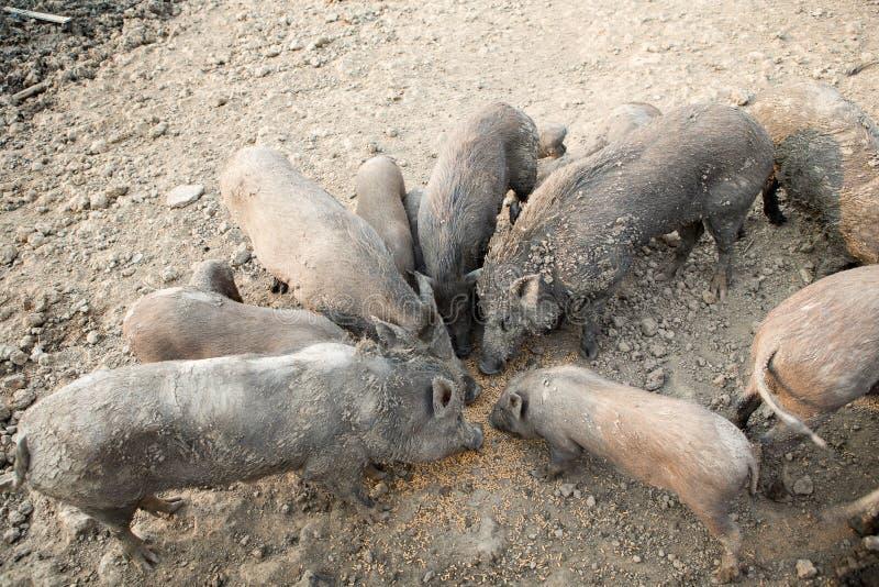 Huishouden zwart varken in het landbouwbedrijf stock afbeeldingen