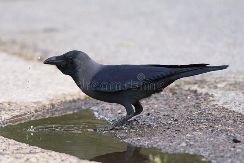 Huiskraai, cuervo de casa, splendens del Corvus imagenes de archivo