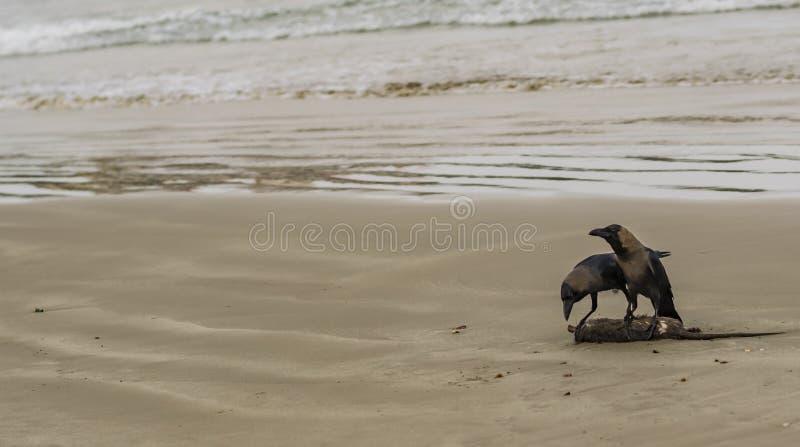 Huiskraaien die op een kust reinigen royalty-vrije stock afbeelding