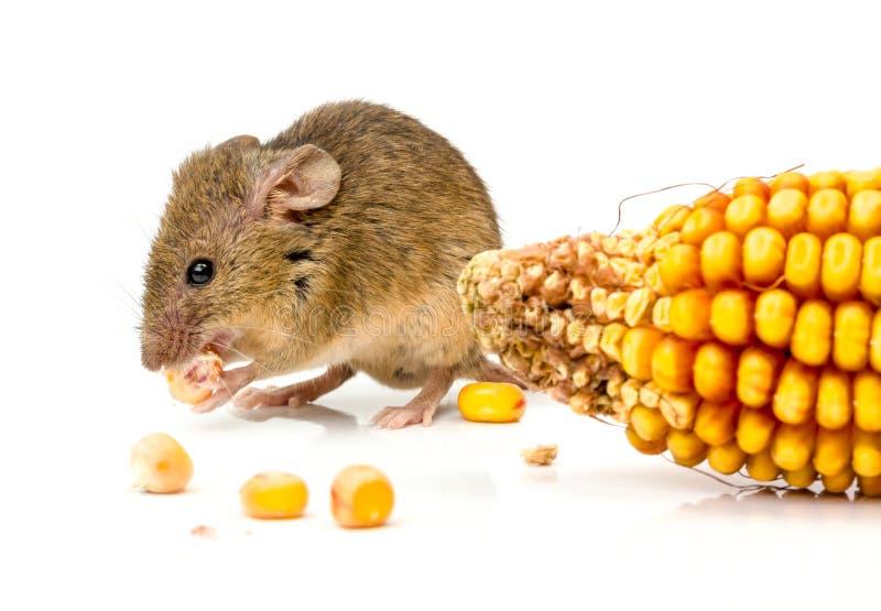 Huismuis die (Mus-musculus) graan eten royalty-vrije stock afbeeldingen