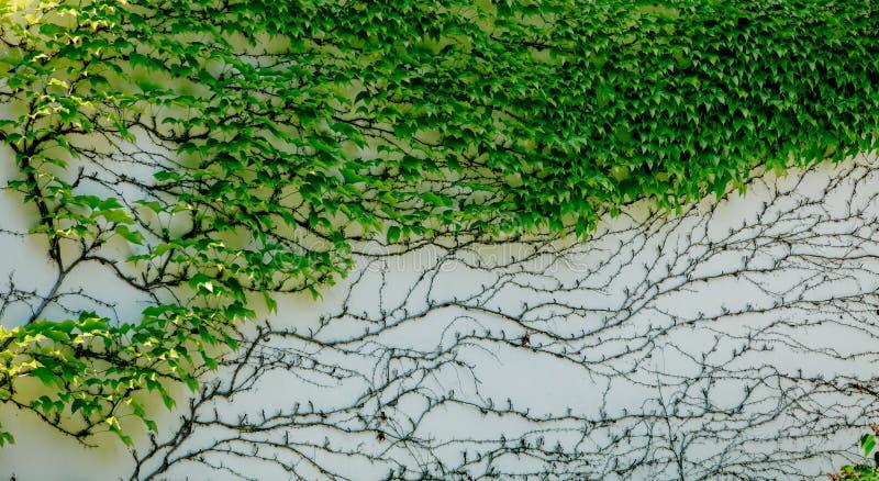 Huismuur met groene overwoekerde klimop stock foto