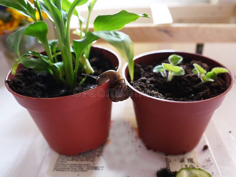 Huisslak op een bloem Deze slakken leven thuis en eten het voedsel dat de mensen hen geven stock afbeeldingen