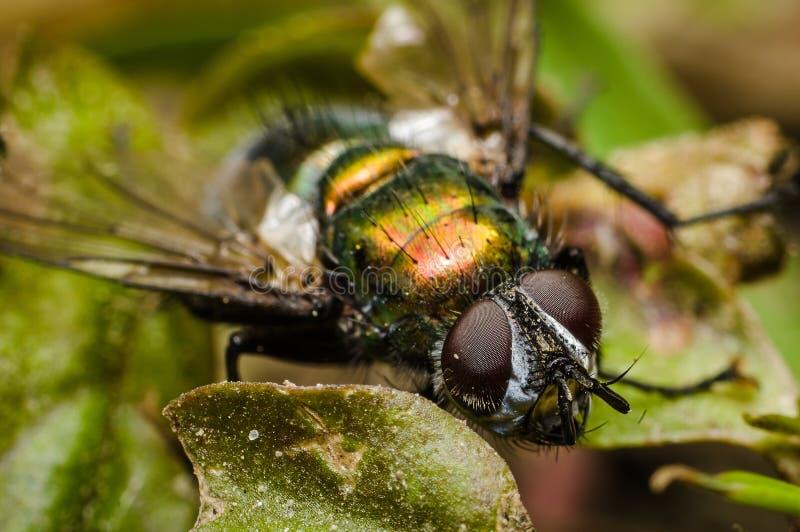 Huisvlieg op een blad - macro stock afbeelding