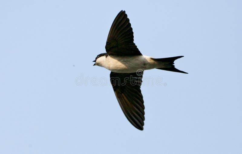 Huiszwaluw, Gemeenschappelijk Huis Martin, Delichon-urbicum royalty-vrije stock foto's