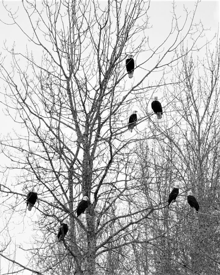 Huit aigles chauves images stock