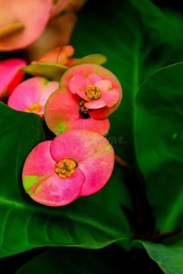 Huit tiges color?es de p?tales de fleur d'immortals avec des ?pines photo stock